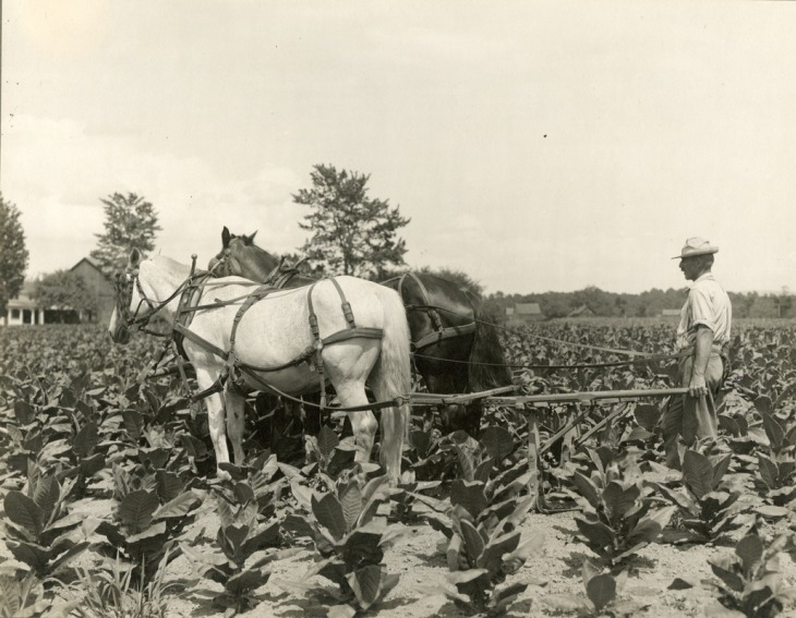 tobacco_crop_hadley_massachusetts_horse_hoeing
